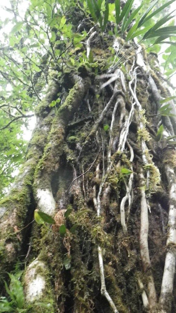 Trees in the Cloud Forest of Monte Verde