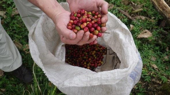 Freshly picked coffee