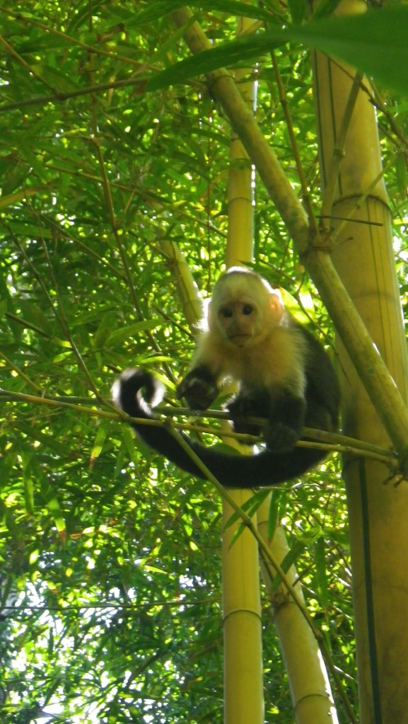 Up close with a White-Faced Capuchin